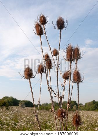 Brown Bulrush Heads Spiked Outside In The Meadow With Cow Parsley Background Peaceful And Gorgeous