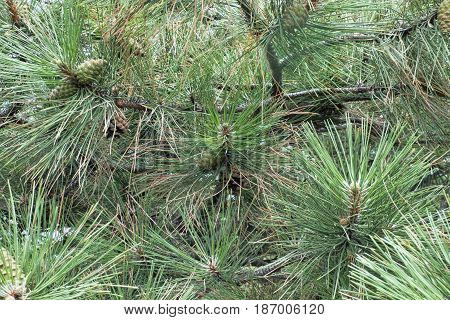 Pine branches lot of needles. Natural background. New year tree macro shot. Selected focus.