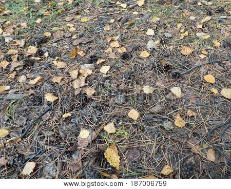 Fallen leaves and cones on the dry needles. Natural background. Selected focus.