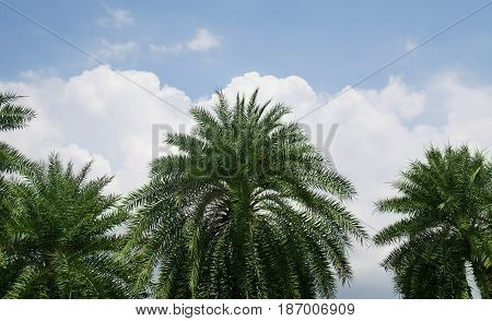 Beautiful plam tree with sky clouds background in the park.