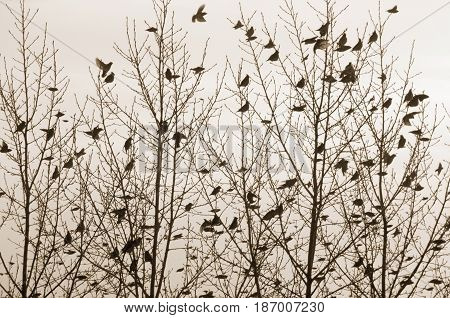 Flock of waxwings sitting on the trees and flying around. Birds and branches silhouettes. Sepia toned image. Old photo stylization.