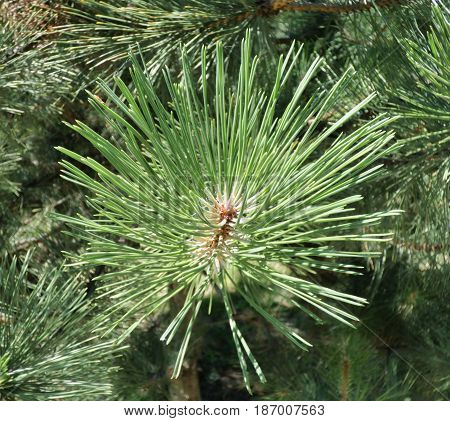 Pine branch with green needles. New year tree macro shot. Selected focus.