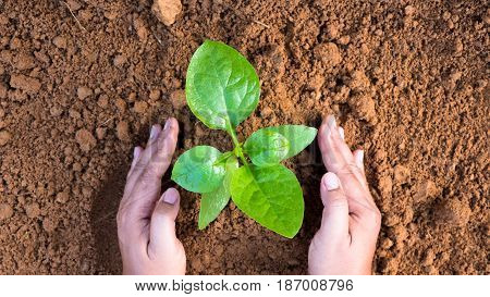 Farmer hand planting sapling to soil top view style
