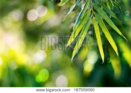 Bamboo leaves nature background Bamboo is a tropical plant, but it can grow on every continent. Most varieties of bamboo are found in tropical southern and south-eastern Asia. Bamboo is the highest grass species. Bamboo leaves fall to the ground used to m