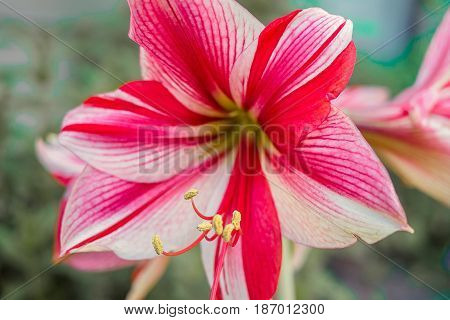 Bouquet of Amaryllis red flower red Gippeastrum