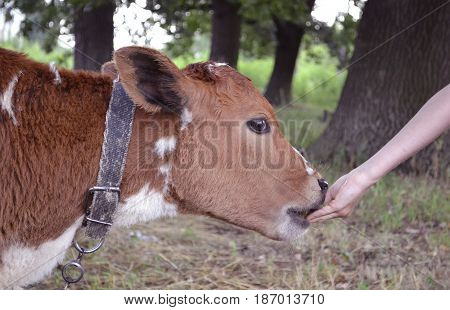 agricultural animal calf. animal calf grazed in a meadow. bullocks farm animal