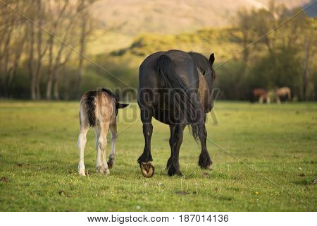 Beautiful Mare and foal on the meadow.