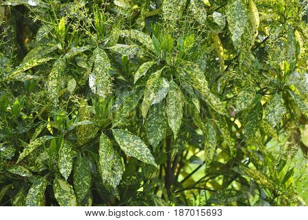 Bush with variegated green and yellow leaves
