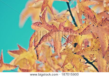 a detail of Maple leaves (Acer saccharinum)