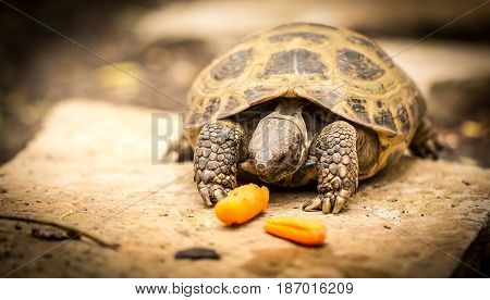 Tortoise eagerly anticipating a delicious carrot lunch.