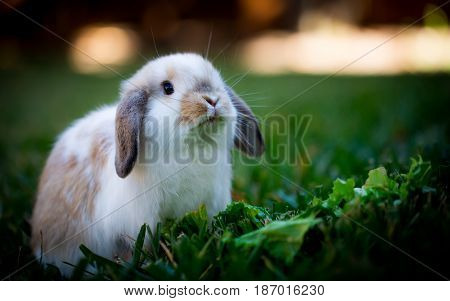 Adorable baby holland lop bunny looking hopeful.