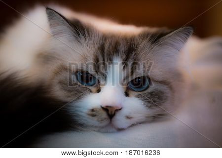 Beautiful ragdoll cat with big blue eyes.