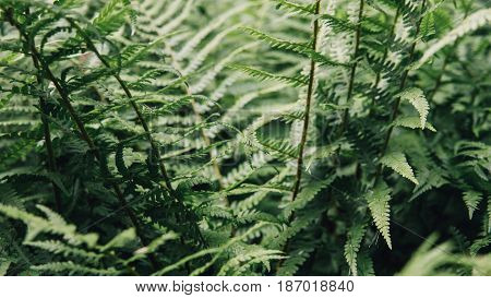 The Texture Of The Fern Close-up. Ferns And Other Plants Of The Forest. Ukrainian Nature And Fern.