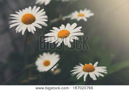 Beautiful daisy flower background. Bright chamomiles or camomiles meadow. Summer in the garden.
