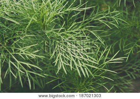 Closeup leaves of fennel, green background. Fresh herb in garden