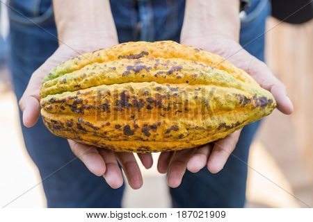 Fresh Ripe cocoa pod fruit in hand.