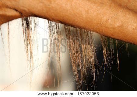 Long brown mane and hair on a horse's neck