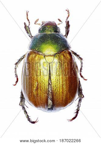 Vine Chafer on white Background - Anomala vitis (Fabricius 1775)