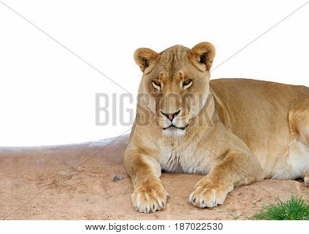 Female lion laying on brown dirt looking at viewer isolated on white. Lions are the second largest living cat after the tiger.