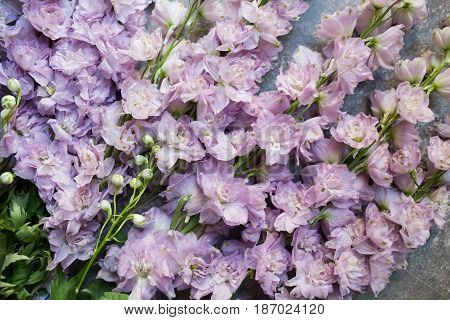 Varietal lilac delphinium on stone background. Top view