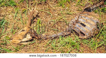 The remains of a wild animal on the grass a world of wildlife