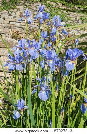 Beautiful blue iris iris spuria flowers growing in a garden.