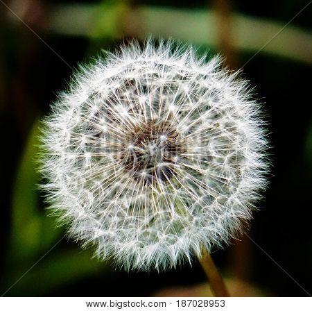 A photo of a single blowball head