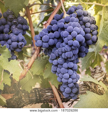 A square vibrant photo of wine grapes hanging from a vine in a vineyard, just before the autumn harvest