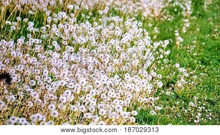 Photo of lots of blowballs on a meadow