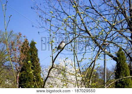 Sparrow on a branch in early spring