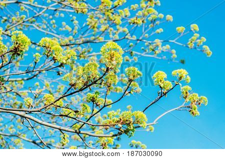 Blossoming buds of a tree maple flowering maple in the spring on a clear sky