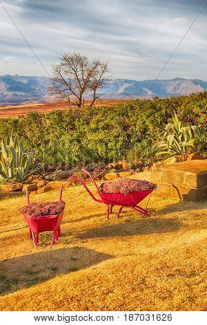 The Wheelbarrow Near Plant And Cactus