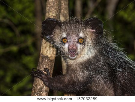 Highly detailed image of Aye-aye nocturnal lemur of Madagascar
