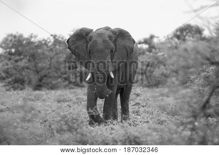 Big elephant approaching along a road tusks trunk artistic conversion poster