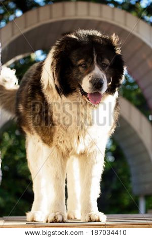 Adult Caucasian Shepherd dog in the yard. Fluffy Caucasian shepherd dog in the yard