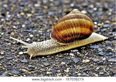 Photo of a vineyard snail crawling on a pathway