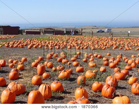 Bumper Harvest Of Pumpkins