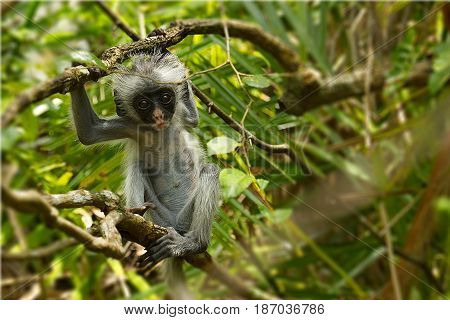 Young red colobus monkey in Jozani forest national park Zanzibar Tanzania