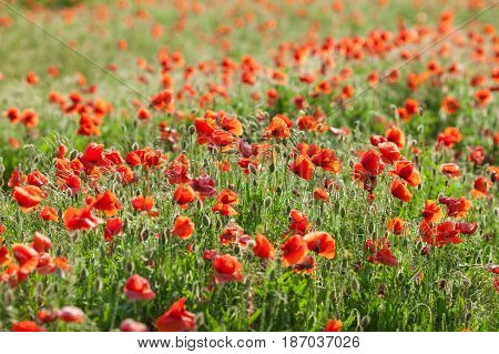 Poppy farming, nature, agriculture, blooming, summer flowers concept - industrial farming of poppy flowers - close-up on flowers and stems of the red poppies field. Summer mood.