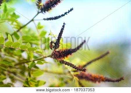 Flower shrubs, flora, (Amorpha fruticosa L. - latin), with honeybee. Bright blue sky in background