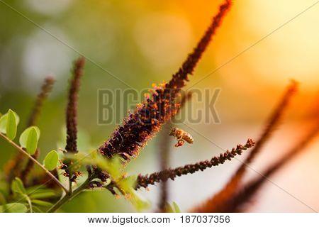 Honeybee flying to false indigo bush flower full of pollen, orange sun light in background