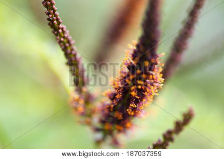 Closeup view of pink Amorpha fruticosa flower also called desert false indigo, false indigo-bush, and bastard indigobush, with stamens full of pollen
