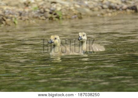 Two young Canada Goose Goslings (Branta Canadensis) swimming along a rocky shoreline on a sunny day in Lake Marberg, Hanover, Pennsylvania, USA.