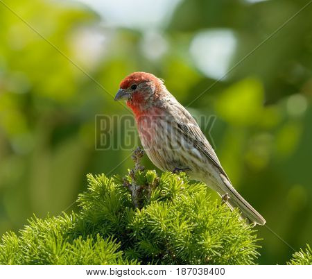 A male House Finch (Haemorhous mexicanus) in full mating plumage sitting atop an Alberta Spruce tree in Taneytown Maryland, USA.