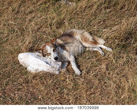 Homeless Dog Sleeps On Stone Pillow In Glade With Dry Grass