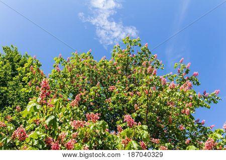 Red Horse-chestnut In Full Bloom