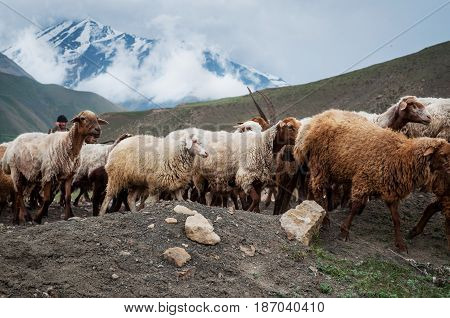 A herd of sheep and goats grazing in the mountains.