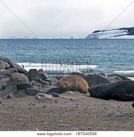 Bearded seal (Erignathus barbatus) cow rests on sea ice . Close - ap