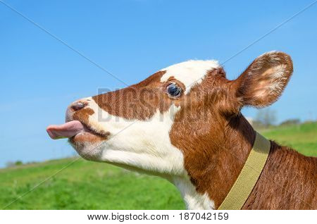 Cow calf standing in a field with green grass. Cow calf head and tongue.