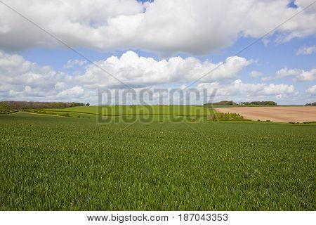 Springtime Woodland And Wheat